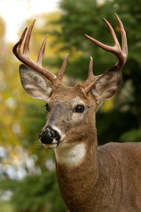 Photo about Closeup portrait of a white tailed deer. Image of mammal, alert, intent - 2146615 Whitetail Deer Pictures, Deer Photos, Pictures Of Deer, Animals And Pets, Cute Animals, Animals With Horns, Strange Animals, Deer Wallpaper, Deer Photography
