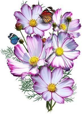 Picotee Cosmos Seeds Cosmos Bipinnatus In 2020 Cosmos Flowers Flower Drawing Flower Art
