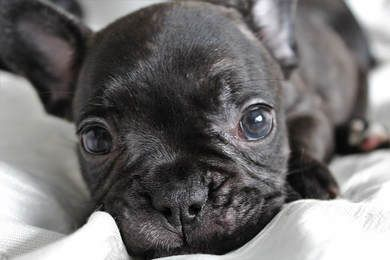 Frenchies For Sale Near Me Merle Frenchies For Sale French