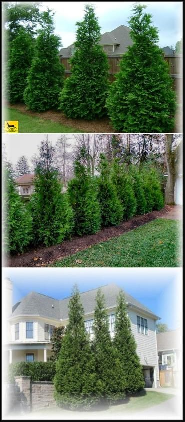 Thuja Green Giant Privacy Trees For Sale Thujagardens Com Thuja Green Giant Evergreen Trees For Sale Evergreen Trees Landscaping