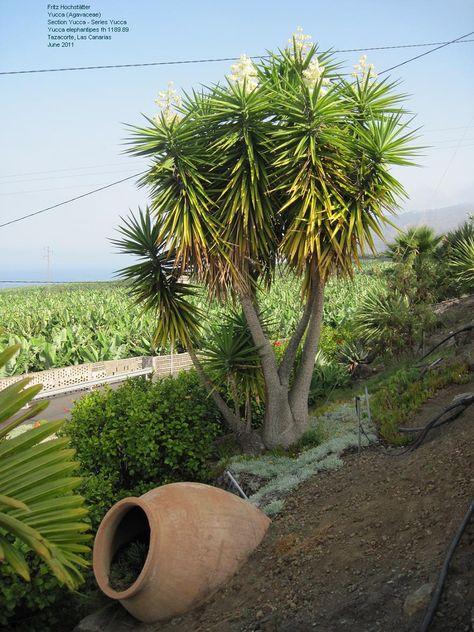 Fiori Yucca.Yucca Gigante Elephantippes Yucca Si Coltiva Dal Messico