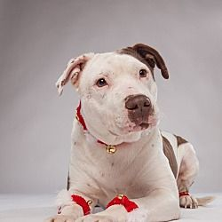 Pictures Of Brutus A Staffordshire Bull Terrier For Adoption In Houston Tx Who Needs A Loving Home Staffordshire Bull Terrier Pets Pitbull Puppies