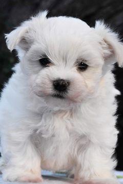 Maltese Puppy For Sale In Marysville Wa Usa Adn 105062 On