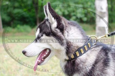 Marvelous Leather Dog Collar With Plates For Siberian Husky