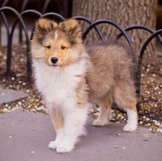 Collie Dogs Breed Cute Puppy Pictures Cute Dog Cutest