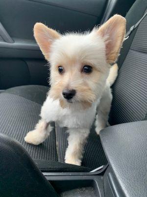 Adopt Boris On In 2020 Cairn Terrier Mix