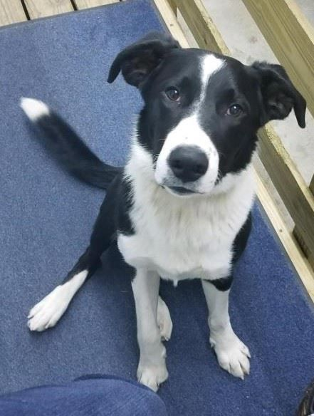 Is This Your Dog North Branch Border Collie Male Date Found