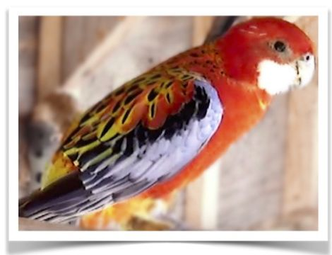 Fiery Golden Mantle Birds For Sale Bird Supplies Pet Bird Cage