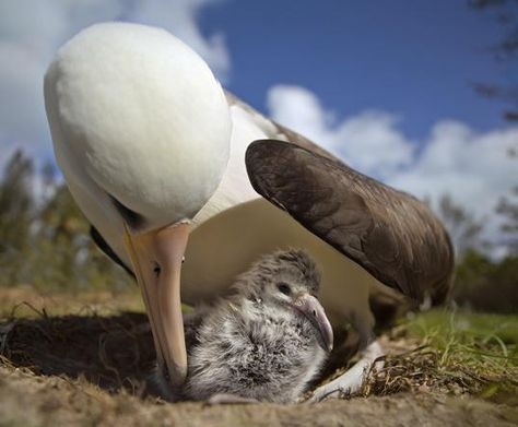"Laysan Albatross and chick, photo by Chris Jordan, from his upcoming documentary ""Midway"""