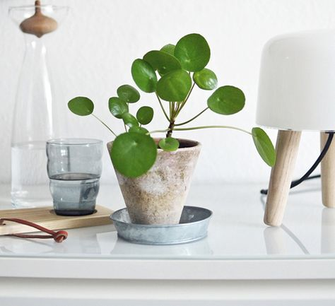 Via My Unfinished Home   Milk Lamp   Nordic   Pilea Peperomioides