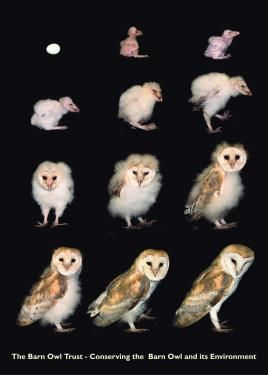 From Egg to Barn Owl in 63 Days