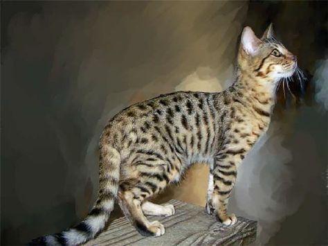 Cheetoh A Hybrid Cat Breed Bengal X Ocicat Description From