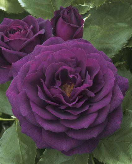 JP: Ebb Tide™ (Blue Nile) - Smoked Deep Plum Purple Floribunda Roses