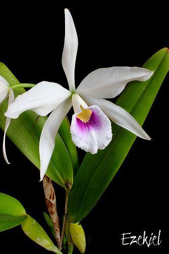Cattleya Laelia Purpurata F Anelata Par Eddy Orchid Flower Beautiful Orchids Orchid Plants