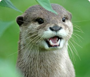 Oriental small-clawed otter : Cotswold Wildlife Park and Gardens