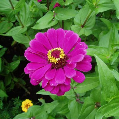 Grow Some History With Aas Winners In 2020 Easy To Grow Flowers Zinnias Purple Flowers Garden
