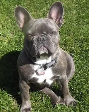 Frenchbulldogfullgrown French Bulldog French Bulldog Puppies