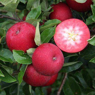 Apple Tree Rosette Uk Apple Tree Dwarf Fruit Trees Apple Plant
