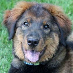 Angus Is An Adoptable Shepherd Dog In Kansas City Ks Date Of