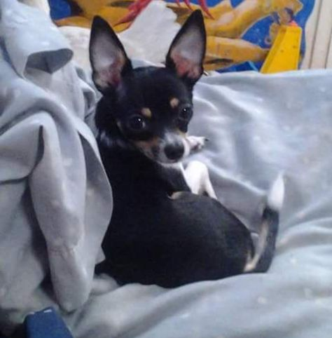 Lost Dog Chihuahua Tampa Fl United States Dogs Losing A
