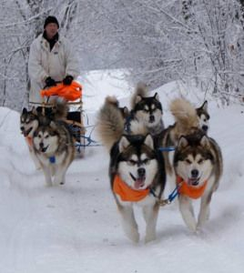 Sledding Malamutes Alaskan Malamute Snow Dogs Dogs
