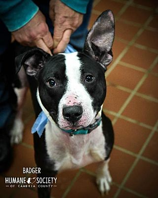 Pictures Of Badger A Bull Terrier For Adoption In Johnstown Pa