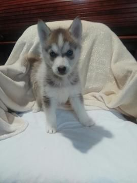 Litter Of 5 Siberian Husky Puppies For Sale In Arthur Il Adn