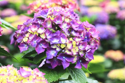 Hydrangea Flowers Meaning And Symbolism Flowers Perennials Hydrangea Flower Planting Flowers