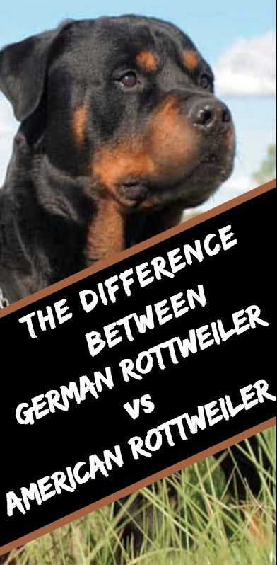 The Difference Between American And A German Rottweiler