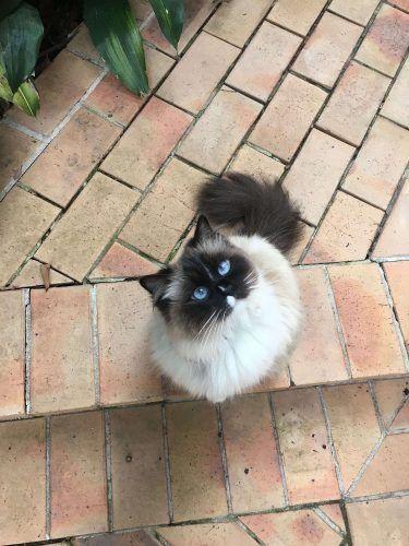 Reunited Ragdoll Cat Missing From Mosman 2088 Sydney