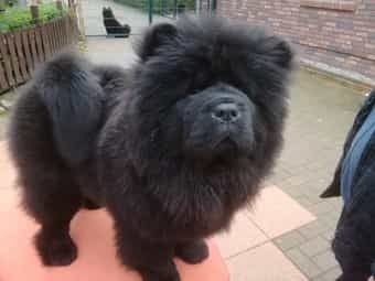 99 Mini Chow Chow Teacup In 2020 Chow Puppies For Sale Dogs