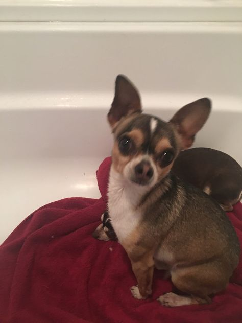 Chihuahua Dog For Adoption In Colorado Springs Co Adn 507805 On Puppyfinder Com Gender Male Age Adult Kitten Adoption Pets Dog Adoption