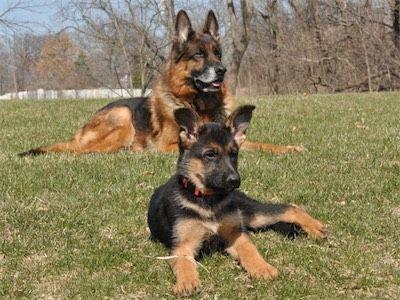 Karo With His Daughter From Irana 10 Weeks Old German Shepherd