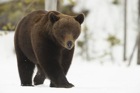 Brown Bear Ursus Arctos During Spring Snowfall Finland Scandinavia Europe Photographic Print Kyle Moore Art Com In 2020 Ursus Brown Bear Your Spirit Animal