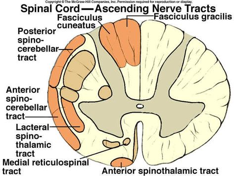 lateral spinothalamic tract - Google Search NEUROANATOMY