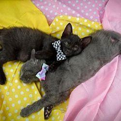 Woodland Park Nj Russian Blue Meet Furiosa And The Splendid Angharad A Cat For Adoption Pet Adoption Cat Adoption Kitten Adoption