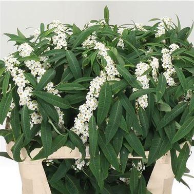 Image Result For White Euphorbia Euphorbia