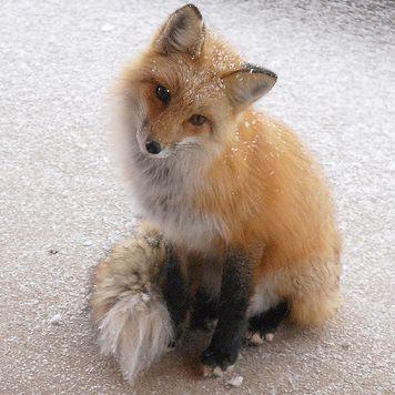 http://logik.li/images/fuchse/Red_Fox_Sitting_Cropped.png