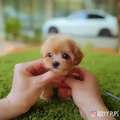 Grooming Tiny Puppy