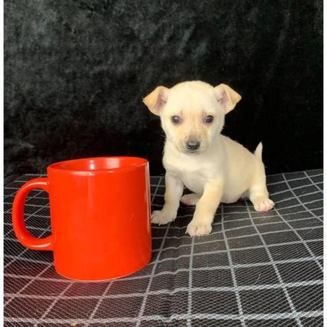 Chihuahua Los Angeles 8 Weeks Old Teacup Purebred Chihuahua Puppy