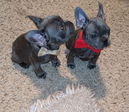 French Bulldog Puppy For Sale In Modesto Ca Adn 65913 On