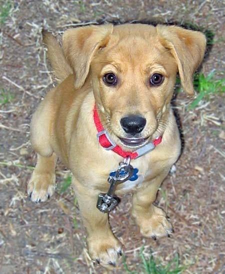 I Want This Dog Too Shar Pei Beagle Mix Beagle Mix Puppies