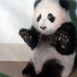 Un oso panda un tanto asustadizo  pandas  Pinterest  Osos panda