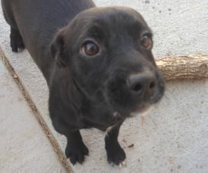 Adopt Kayak Denver Location On Rescue Puppies Labrador Retriever Dog Retriever Dog