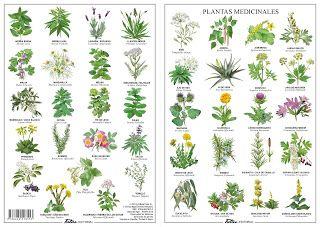 Azprensa Plantas Medicinales Lo Natural Es Consultar Con Dibujos De Plantas Medicinales Plantas Medicinales Plantas