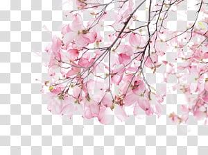 Cherry Blossom Tree Watercolor Painting Illustration Cherry Blossoms Transparent Backgrou Cherry Blossom Watercolor Blossoms Art Cherry Blossoms Illustration