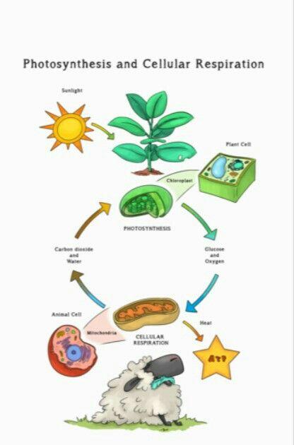 Fotosintesis Respiracion Celular Photosynthesis And Cellular Respiration Biology Classroom Science Cartoons
