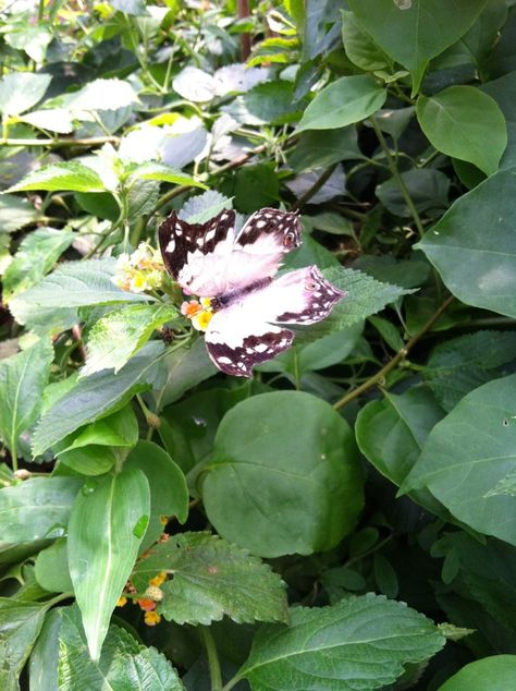 Mackinaw Island Butterfly, From The Butterfly House