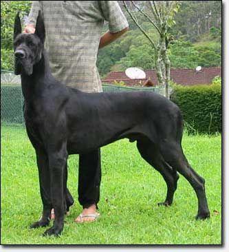 Hauerdanes Valentino Of Gavea Hauerdane Most Amazing Breeder Of