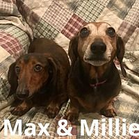 Texarkana Texas Dachshund Meet Max Pet Adoption Love Your Pet Dachshund Adoption
